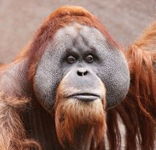 Free Old Orangutan 01 Stock Images - 17929374