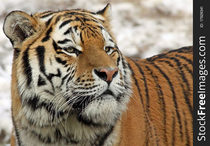 Siberian tiger 04
