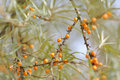 Free Sea Buckthorn Stock Photos - 17932223