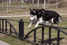 Free Jumping Husky Stock Photography - 17930092