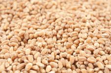 Free Wheat Grain Stock Images - 17930764