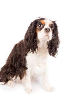 Free Cavalier King Charles Spaniel - Dog Stock Photo - 17932500