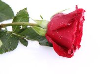 Free Red Rose Covered With Drops Stock Image - 17932601