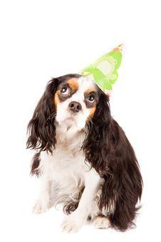 Free Cavalier King Charles Spaniel - Dog Stock Photos - 17932643