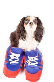 Free Cavalier King Charles Spaniel - Dog Royalty Free Stock Photo - 17932885