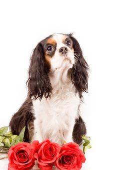 Free Cavalier King Charles Spaniel - Dog Stock Image - 17932941
