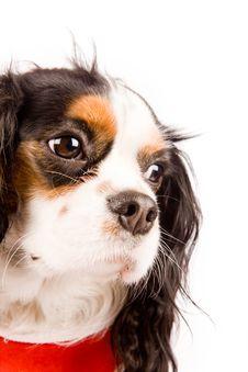 Free Cavalier King Charles Spaniel - Dog Stock Photo - 17933250