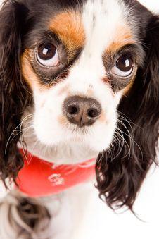 Free Cavalier King Charles Spaniel - Dog Royalty Free Stock Photography - 17933277