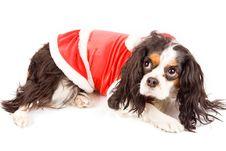 Free Cavalier King Charles Spaniel - Dog Stock Images - 17933294