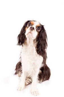Free Cavalier King Charles Spaniel - Dog Royalty Free Stock Photos - 17933368