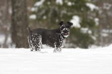 Free Snow Covered Schnauzer Dog Royalty Free Stock Photo - 17933565