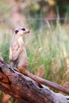 Free Meerkat Royalty Free Stock Photos - 17935018