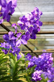 Violet Orchid Royalty Free Stock Photos