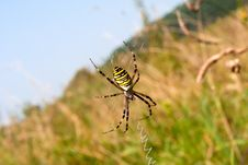 Free Wasp Spider Stock Images - 17935934