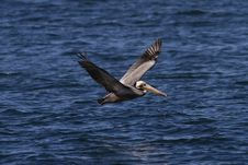 Pacific Brown Pelican Stock Photo