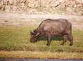 Free Buffalo (Syncerus Caffer) In The Wild Stock Images - 17944334