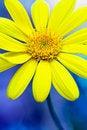 Free Yellow Daisy Royalty Free Stock Image - 17946236