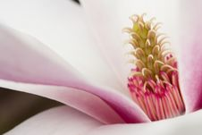 Free Magnolia Stock Photo - 17941440