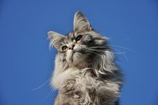 Free Maine Coon Cat Royalty Free Stock Images - 17941699