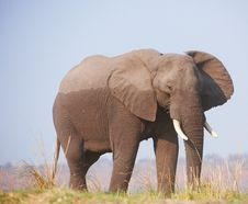 Free Large African Elephant Royalty Free Stock Photos - 17944338