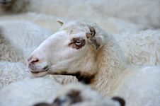 Free Sheep Royalty Free Stock Image - 17946076