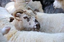 Free Sheep Royalty Free Stock Photo - 17946085