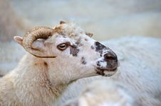 Free Sheep Royalty Free Stock Images - 17946099
