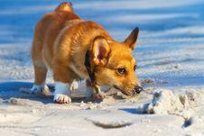 Free Corgi On The Beach Stock Photography - 17946222