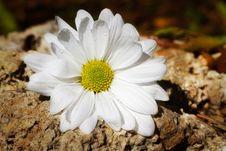 White Daisy On Rocks Royalty Free Stock Photos