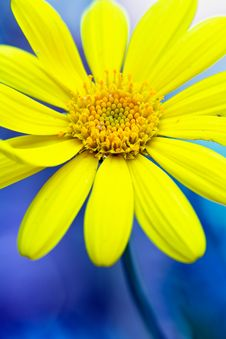 Free Yellow Daisy Royalty Free Stock Image - 17946236