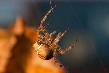 Free European Garden Spider Royalty Free Stock Images - 17947679