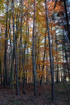 Free Autumn Forest Royalty Free Stock Photography - 17949007
