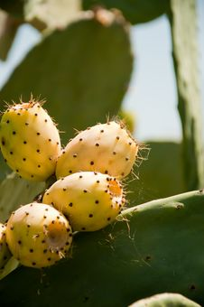Free Fig Prickly Pear Stock Images - 17949024