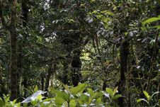 Free Male Resplendent Quetzal (Pharomachrus Mocinno) Royalty Free Stock Photos - 17949878