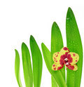 Free Orchid And Leaves Royalty Free Stock Image - 17957616