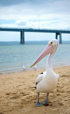 Free Pelican Royalty Free Stock Photography - 17950547