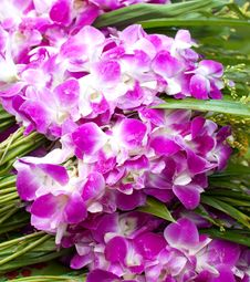 Free Violet Orchids Stock Images - 17950744