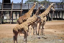 Free Giraffe Royalty Free Stock Photo - 17951145