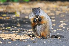 Free Groundhog Eating Royalty Free Stock Photography - 17951367