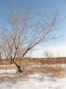 Free Alone Tree On The Winter Meadow Stock Photography - 17951782