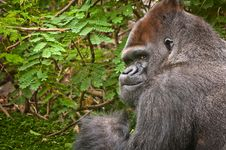 Lowland Gorilla Royalty Free Stock Photography