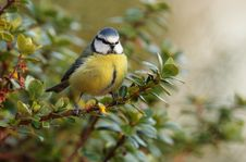 Bluetit. Stock Photography