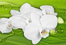 White Orchid And Dewy Leaves Royalty Free Stock Photos