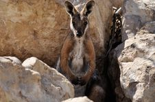 Free Wallaby Royalty Free Stock Photography - 17955247