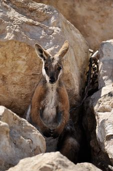 Free Wallaby Royalty Free Stock Photos - 17955288