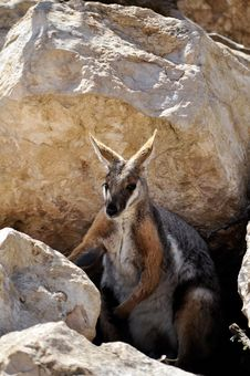 Free Wallaby Stock Photography - 17955422