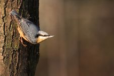 Free Nuthatch Royalty Free Stock Photo - 17957415