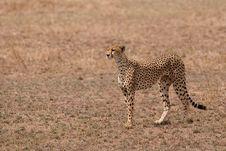 Free Cheetah At Serengeti Park Tanzania Stock Image - 17959761