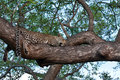 Free African Leopard Resting In Tree Stock Photos - 17961273