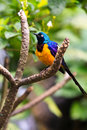 Free Colorful Sterling Bird Royalty Free Stock Photos - 17961608